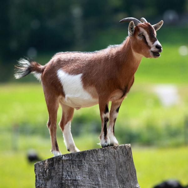 goatwiki